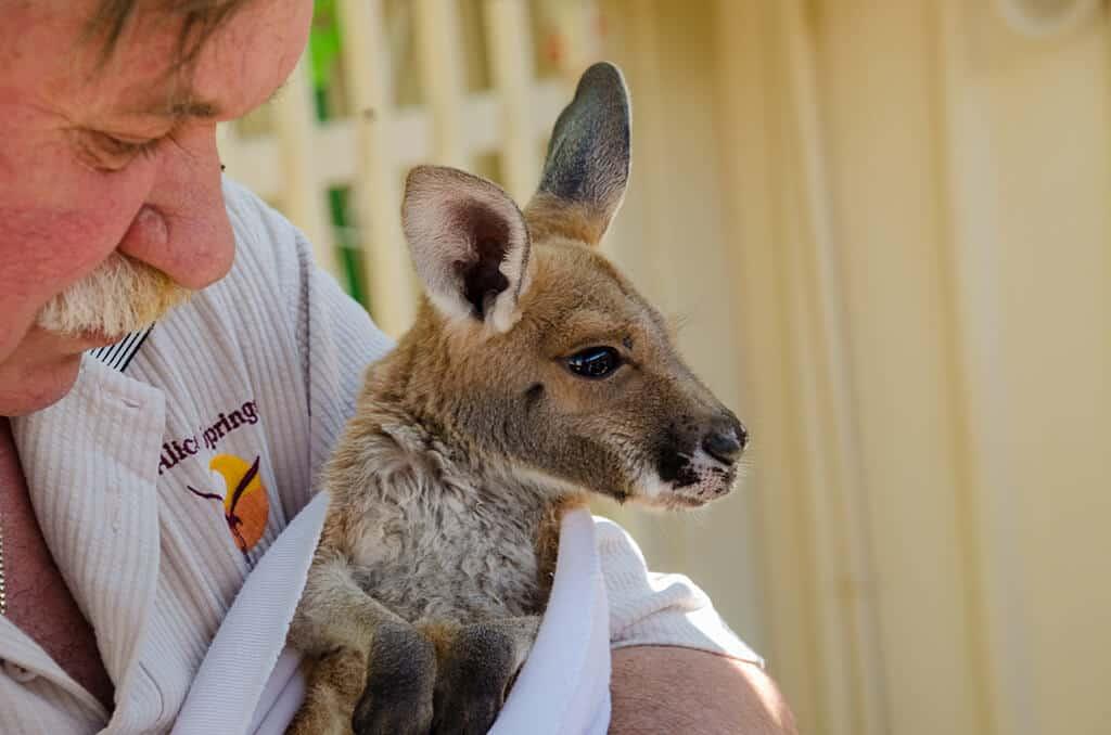 Bébé kangourou à Coober Pedy