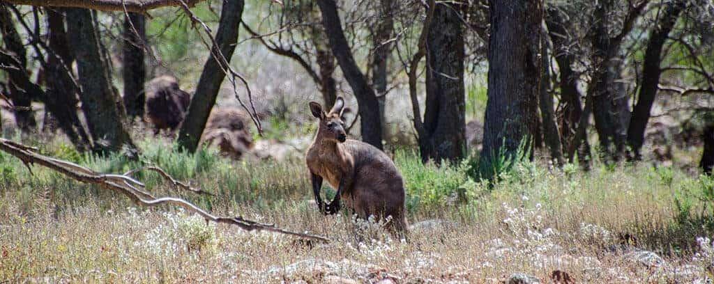 Notre premier kangourou en Australie
