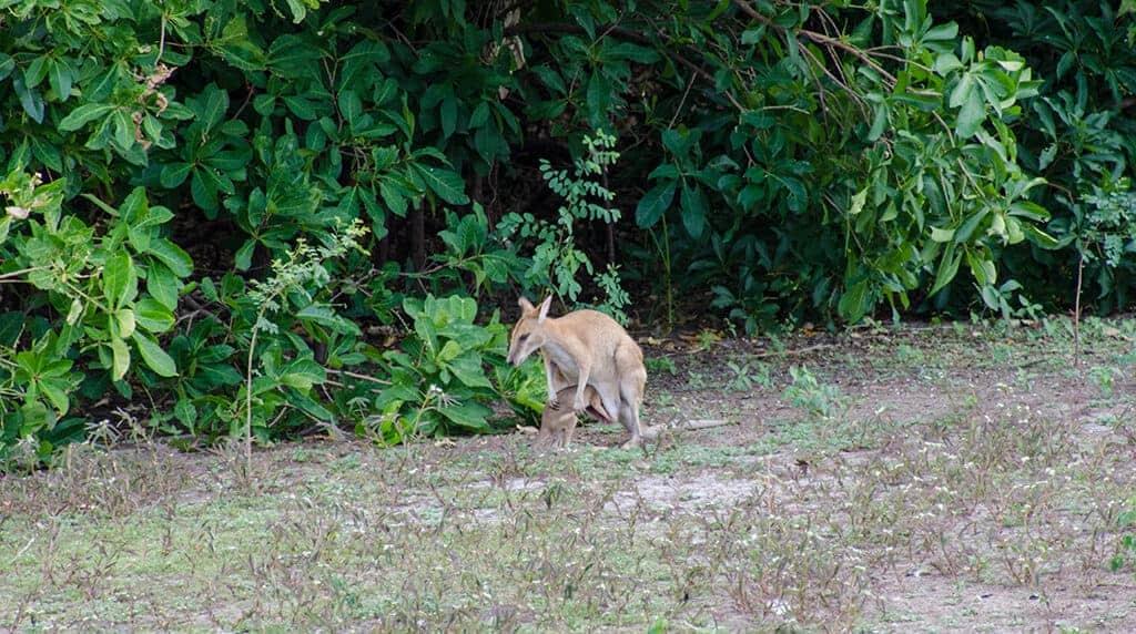Bébé kangourou sortant de la poche