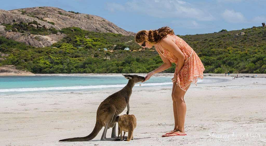caresser des kangourous