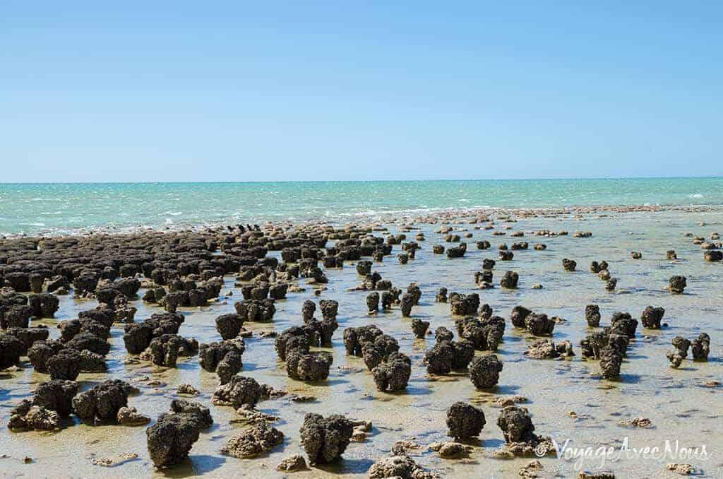 les stromatolites de shark bay