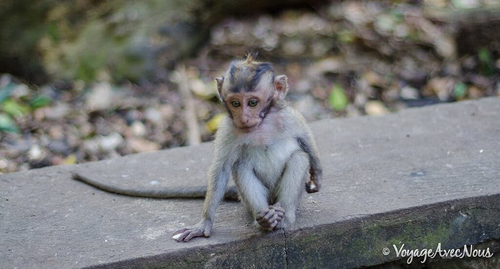 singe-bali-monkey-forest