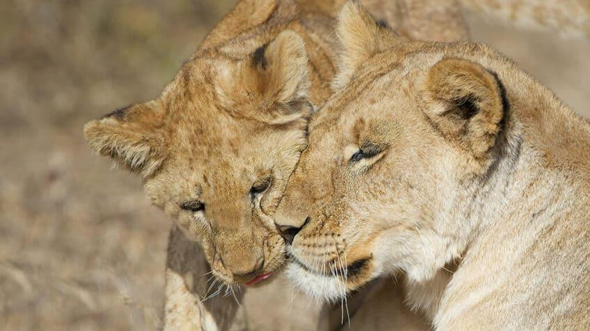 lions-tanzanie-instant-magique