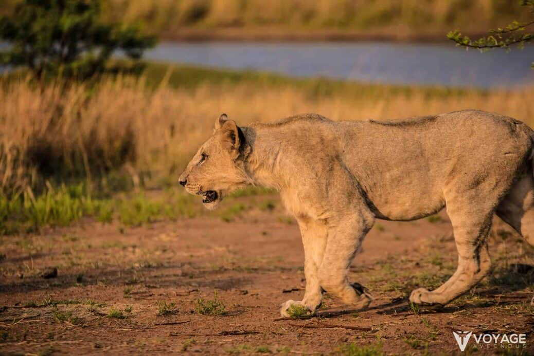 lion-safari-kruger-afrique-du-sud