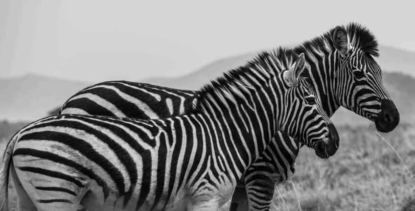 zebres-pilanesberg-park