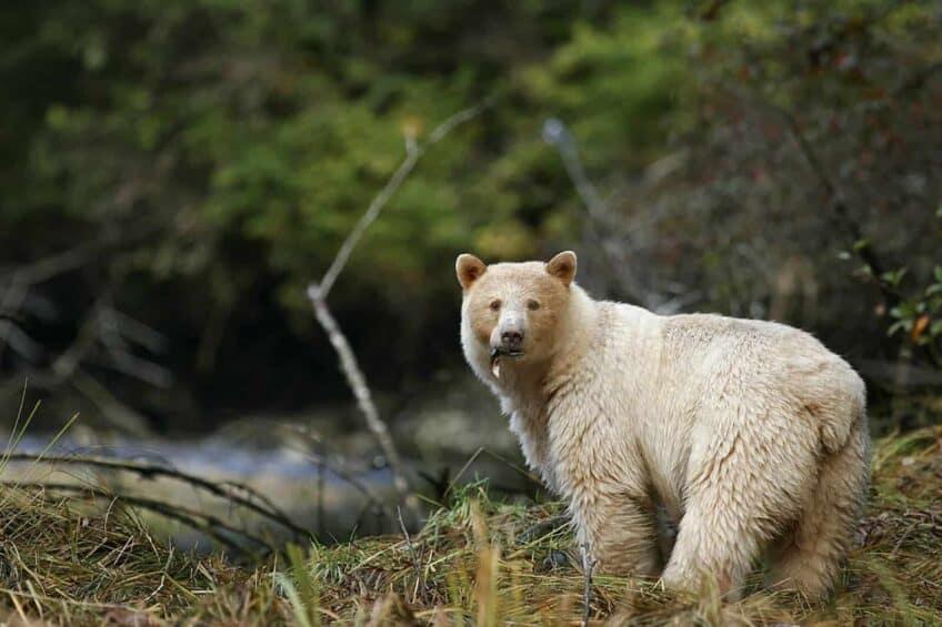 ours-blanc-colombie-britannique