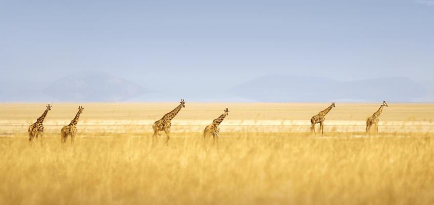 girafes-tanzanie