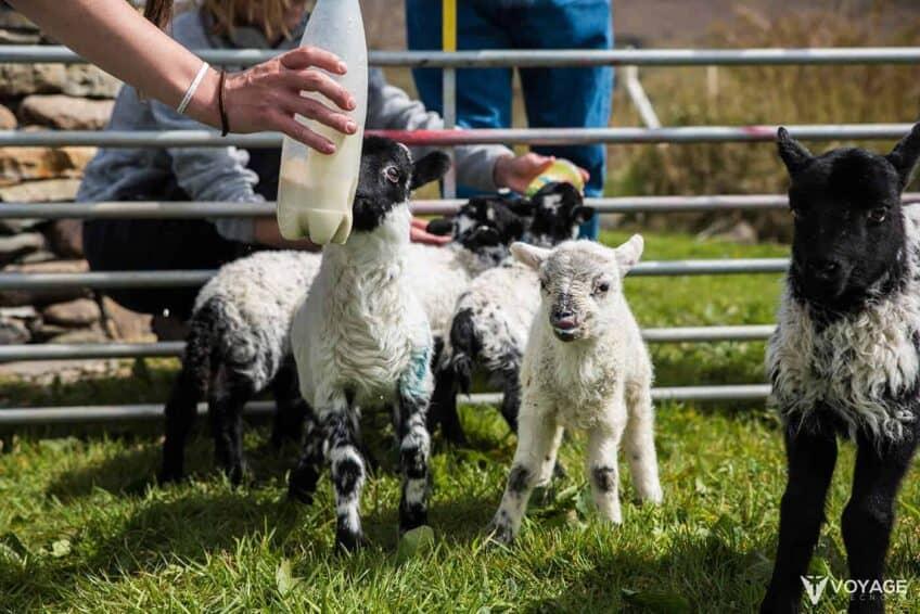 agneaux-Glen-Keen-Farm