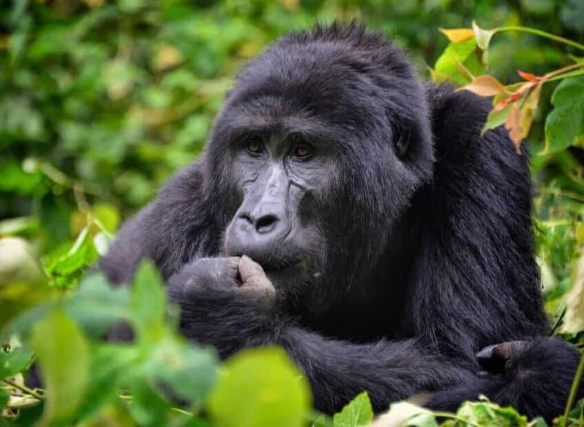 gorilles-montagnes