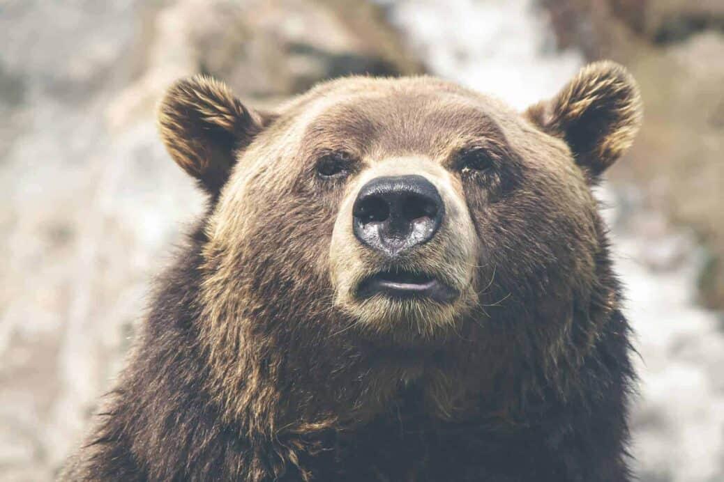 voir grizzlis canada