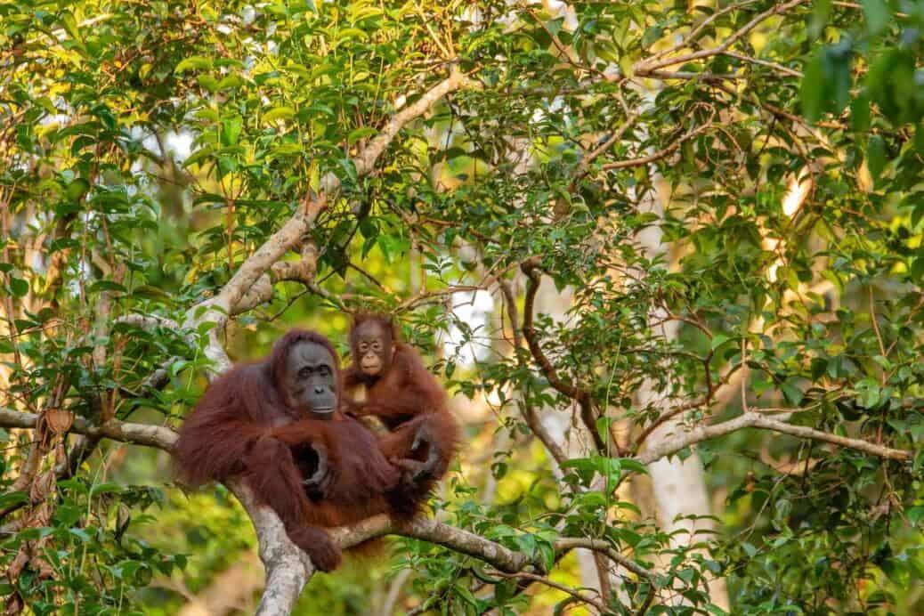 voir les orangs outangs