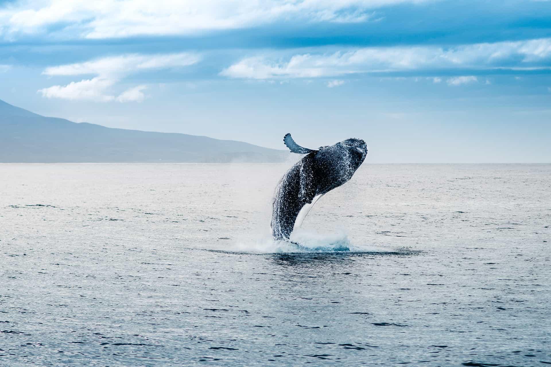 saison baleines islande